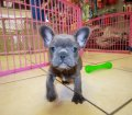 blue french bulldog puppies for sale in georgia (3)