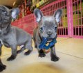blue french bulldog puppies for sale in georgia (5)