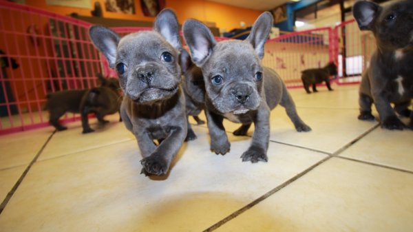 Lovely Blue French Bulldog Puppies For Sale in Georgia Local Breeders