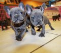 blue french bulldog puppies for sale in georgia (6)