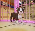 rare green eyes red boston terrier puppies for sale in georgia (8)