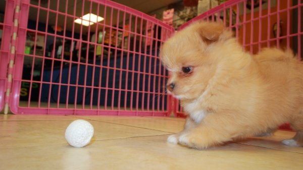 Low Shedding Malti Pom Puppies For Sale In Georgia At Puppies For Sale Local Breeders
