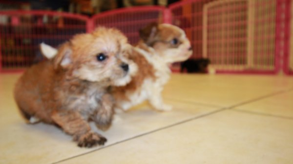 Gold Black Amp White Morkie Puppies For Sale In Georgia At Puppies For Sale Local Breeders