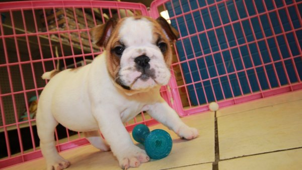Wrinkled and Cute, English Bulldog Puppies for sale in Georgia