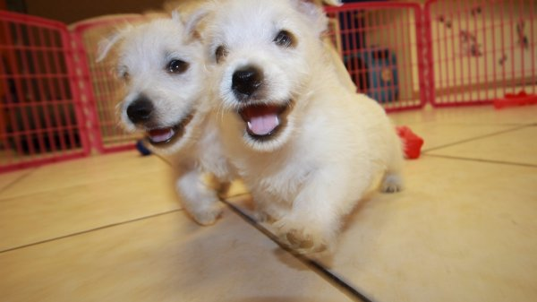 Sweet Westie Puppies for sale in Georgia at - Puppies For