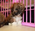 havanese puppies for sale in georgia (10)