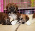 havanese puppies for sale in georgia (16)