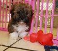 havanese puppies for sale in georgia (18)