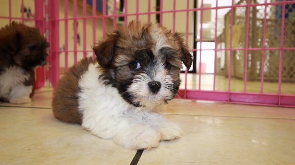 Sweet Havanese Puppies For Sale In Georgia