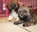 havanese puppies for sale in georgia (8)