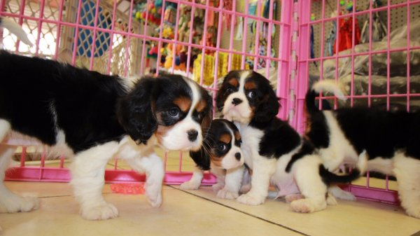 Gorgeous Cavalier King Charles Spaniel Puppies For Sale in Georgia