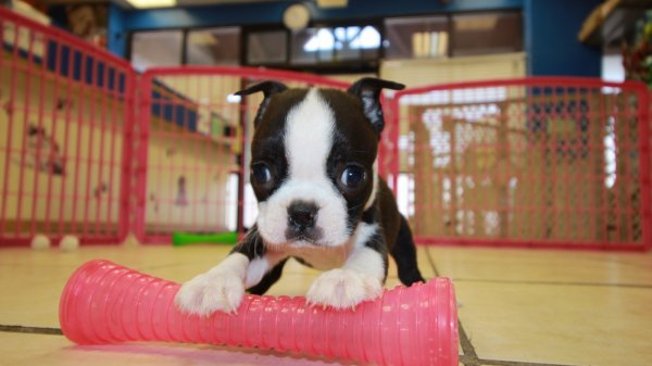 Adorable Boston Terrier Puppies For Sale in Ga Georgia