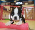 boston terrier puppies for sale ga (5)