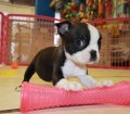 boston terrier puppies for sale ga (6)