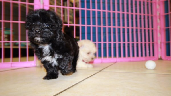 adorable malti-poo puppies for sale in georgia at