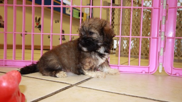 Cute Teddy Bear Puppies For Sale In Ga Georgia At Puppies For Sale Local Breeders