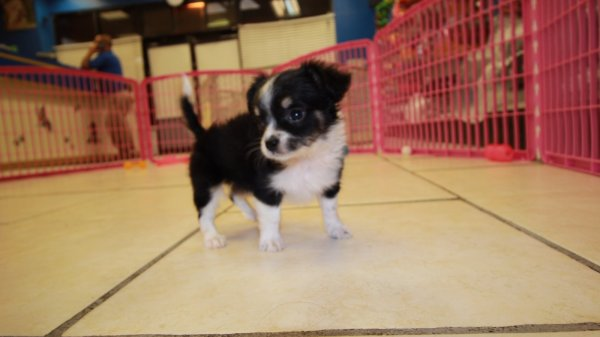 Black and Tan Long Hair Chihuahua Puppies For Sale In Georgia