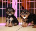 Yorkie Poo Puppies for sale in Ga (2)