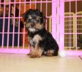 Yorkie Poo Puppies for sale in Ga (4)