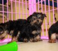 Yorkie Poo Puppies for sale in Ga (7)