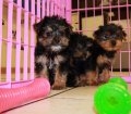 Yorkie Poo Puppies for sale in Ga (8)