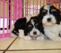 cavachon puppies for sale ga georgia (5)