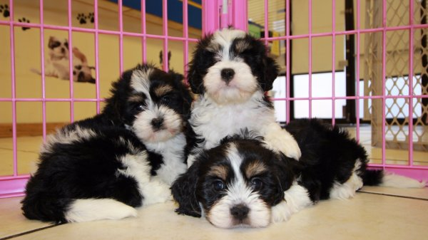 Adorable Tri Color Cavachon Puppies For Sale Georgia Local Breeders