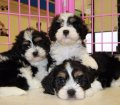cavachon puppies for sale ga georgia (7)