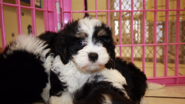 Adorable Tri Color Cavachon Puppies For Sale Georgia Local