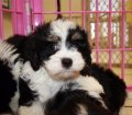 cavachon puppies for sale ga georgia (8)