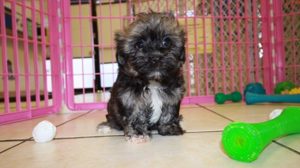 Adorable Havanese Puppies For Sale In Georgia
