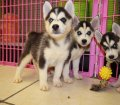 siberian husky puppies for sale in georgia ga (1)