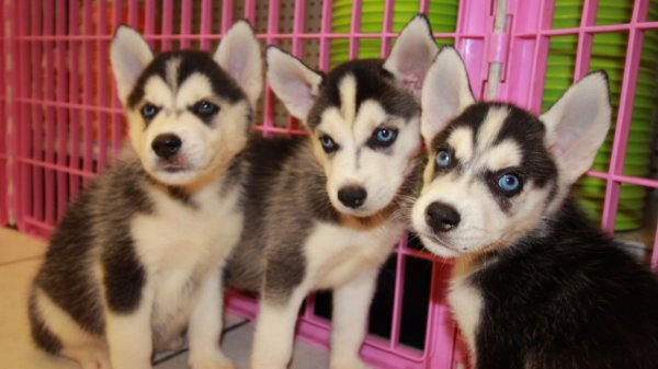 Amazing Siberian Husky Puppies For Sale in Georgia near Atlanta Ga