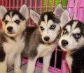 siberian husky puppies for sale in georgia ga (3)