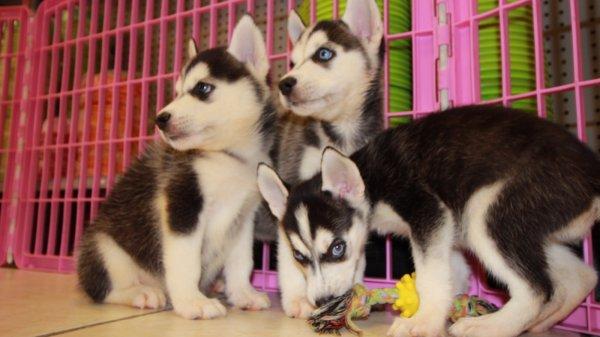 Image Result For Siberian Husky Breeders Atlanta