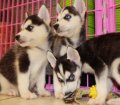 siberian husky puppies for sale in georgia ga (5)