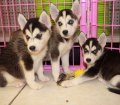 siberian husky puppies for sale in georgia ga (7)