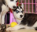 siberian husky puppies for sale in georgia ga (8)