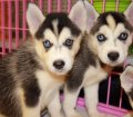 siberian husky puppies for sale in georgia ga (9)