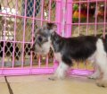 Schnorkie puppies for sale in Georgia (25)