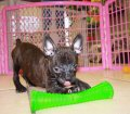 Frenchton puppies for sale in georgia (11)