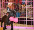 Frenchton puppies for sale in georgia (19)
