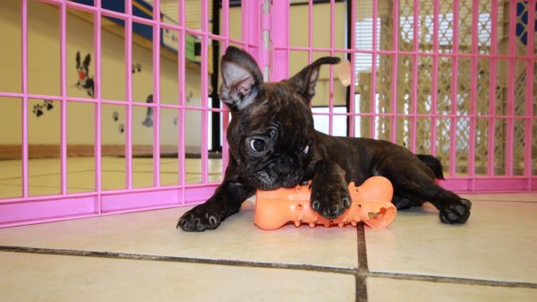 Frenchton Puppies For Sale in Atlanta Georgia Ga