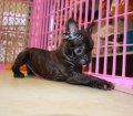 Frenchton puppies for sale in georgia (31)