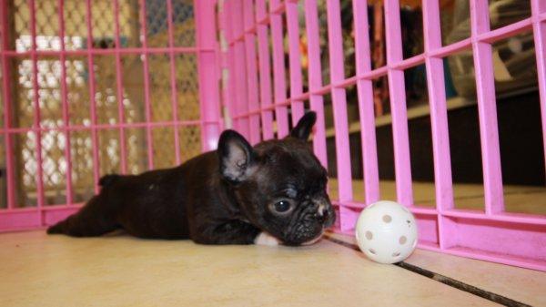 Super Cute Frenchton Puppies For Sale in Atlanta Georgia Ga at