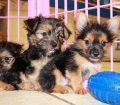 Chorkie puppies for sale in Georgia (10)
