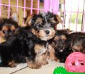 Chorkie puppies for sale in Georgia (12)