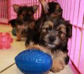 Chorkie puppies for sale in Georgia (13)