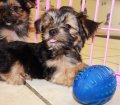 Chorkie puppies for sale in Georgia (14)