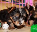 Chorkie puppies for sale in Georgia (17)